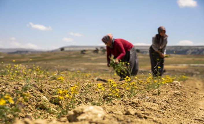 Büyükşehir'in Tarıma Destekleri Çiçek Açıyor, Üreticinin Yüzü Gülüyor
